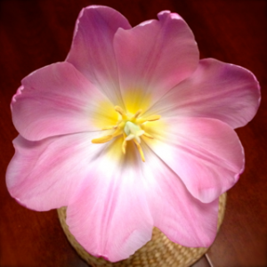 Tulip – Kristine Bruneau